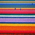 حقول زهرة الخزامى ( اللافندر) السحرية