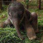 فيل عمره ثلاثة أيام