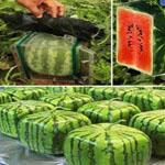 االبطيخ المربع - شاهد ماذا فعل اليابانيين لكى يستطيعوا وضع البطيخ فى الثلاجه