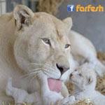 سبحان من وضع رحمته في قلوب هذه الحيوانات المتوحشة