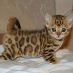 قط جميل من فصيلة النمور الأسيوية.