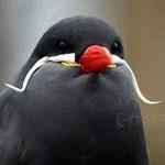 طائر الشنب أسمه العلمي Larosterna inc...