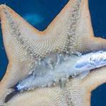 هكذا يأكل نجم البحر الأسماك !
