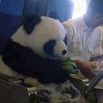الباندا مبعوث سلام  بطريقه للصين