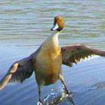 هذا الطائر يسمى راكب الأمواج و هو أشب...