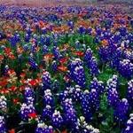 حقول الورود في تكساس