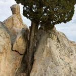 شجرة عجيبة تنمو فوق صخرة