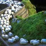 طريق مخصص في ايرلندا لعبور الأغنام وا...