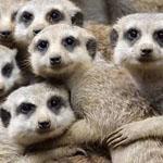 صورة طريفة لعائلة من حيوان الميركات