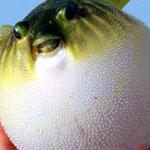 سمكة Puffer fish تقوم بنفخ نفسها عند الأحساس بالخطر