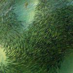دوائر من الأسماك الصغيرة حول أسماك القرش