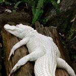تمساح أبيض نادر !