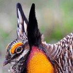 صورة مدهشة لأحد أنواع الدجاج البري