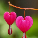 هرة القلب النازف