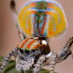 عنكبوت الطاووس من أجمل عناكب العالم