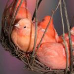 لقطه رائعه لمجموعه من عصافير الحب الم...