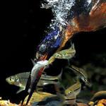 لقطه رائعه لطائر يصطاد سمكه تحت الماء