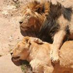سبحان الذي جعل الرحمه والحب حتى في قلوب الحيوانات المفترسة