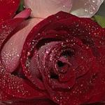 يا لجمال الورد