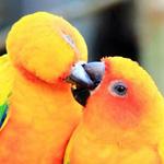 طيور الحب  :-)