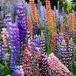 بحيرة تيكابو، نيوزيلندا