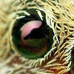عيون العنكبوت من قرب وكأنها ياقوت