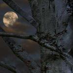 نظرة خاطفة للقمر من بين اغصان هذه الشجرة العمرة