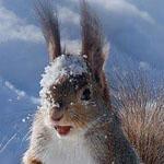 السنجاب الثلجي