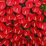صورة من الورود على شكل قلب لزوار فرفش