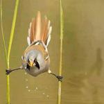 صورة رائعه لطائر يشرب المياه بوضعيه م...