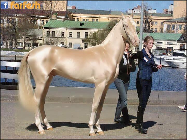 أجمل حصان في العالم من تركيا