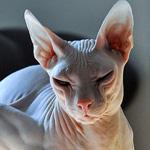 القط الفرعوني لا يوجد به شعر ويسمي ايضا سفينيكس