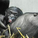 وليد صغير لشمبانزي البونوبو في حضن أمه بحديقة الحيوان غرب ألمانيا