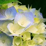 زهرة الكوبية  الجميلة