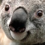 دب الكوالا المهدد بالانقراض في أستراليا