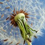 هذه النبتة رمزاً للجمال والسعادة