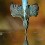 طائر الرفراف المعروف بسرعته بالغطش لالتقاط الاسماك
