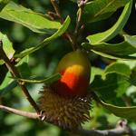 هل تعلم ان ثمار البلوط تساعد على التخلص من حموضة المعدة
