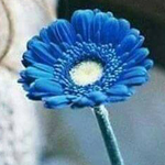 أنتِ جميلة ونادرة .. وتستحقين وردة زرقاء.
