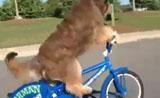 مقطع فيديو لكلب يركوب الدراجة